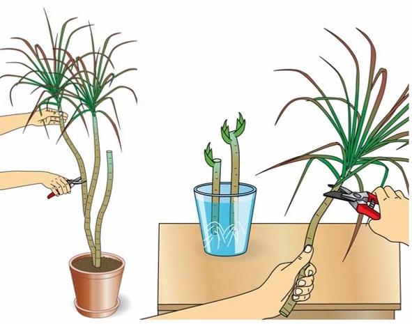 Размножение драцены верхушечными черенками в домашних условиях: фото