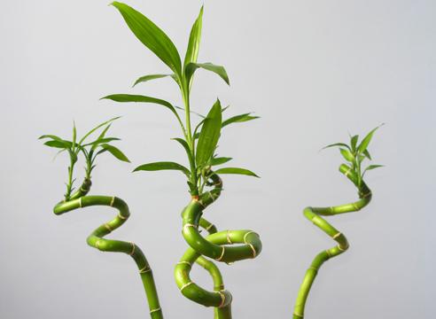 Виды домашних бамбуков: драцена Сандера