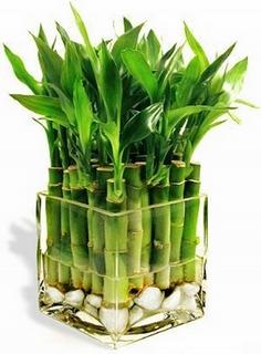 Комнатный бамбук: бережный уход в домашних условиях