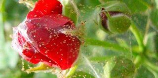 Паутинный клещ на комнатных растениях: как с ним бороться?