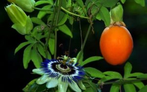 Страстоцвет яблоковидный (чулюпа): фото