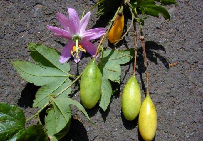 Банановая пассифлора: фото