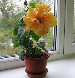 Почему не цветет гибискус?