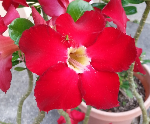 Цветы адениум Double Purple: фото