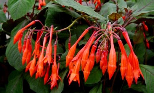 Цветы фуксии трехлистной: фото
