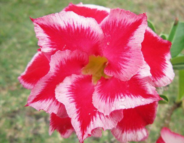 Цветы адениум Double Santa Claus: фото
