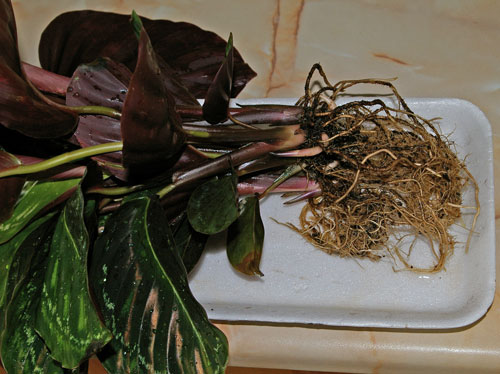 Размножение (деление) калатеи
