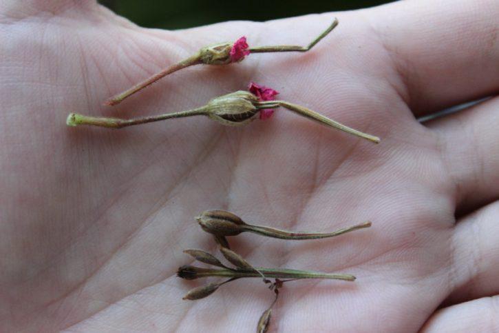 Как вырастить герань семенами