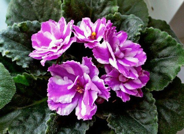 Сенполия (узамбарская фиалка) многоцветная: фото
