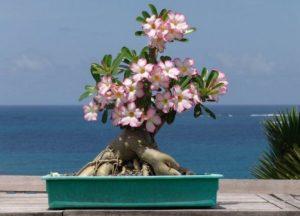 Как выращивать адениум в домашних условиях