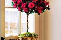 Цветок азалия: пересадка и размножение в домашних условиях