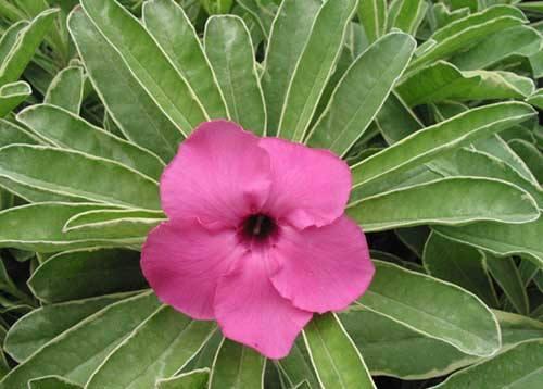 Цветы адениум Chalking Pink: фото