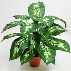 Цветок Диффенбахия: уход в домашних условиях
