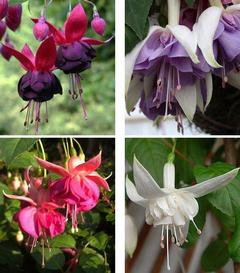Цветок фуксия: сорта и фото