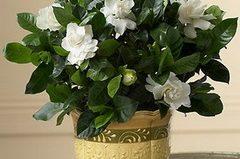 Гардения жасминовая комнатная: уход за цветами в домашних условиях