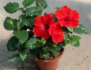 Китайская роза или гибискус (цветок смерти): фото
