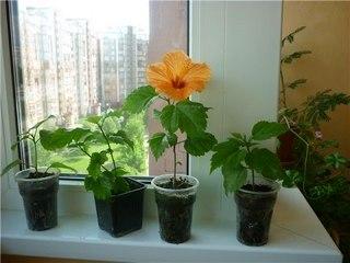 Цветок гибискус комнатный: уход и размножение в домашних условиях