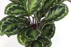 Комнатный цветок калатея: фото и виды