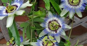 Выращивание и размножение пассифлоры в домашних условиях