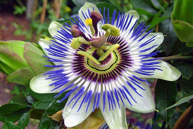 Цветок голубой пассифлоры: фото