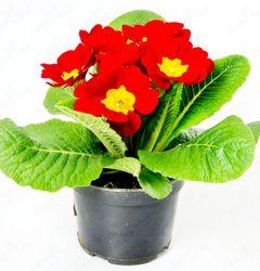 Примула комнатная: выращивание и уход в домашних условиях