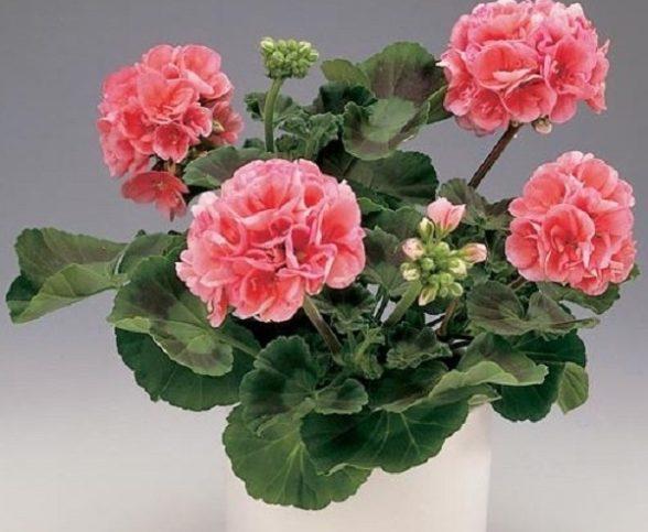 Розовая герань: приметы