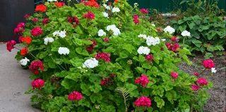 Сорта и виды садовой герани (с фото)