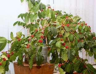 Растение кофе Арабика: правильный уход в домашних условиях