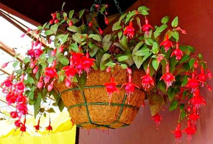 Цветы фуксии ампельной формы: фото