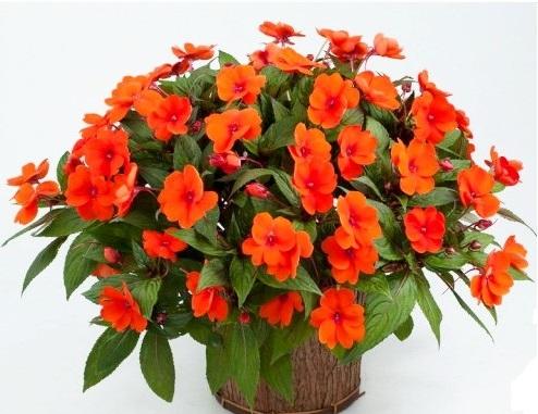 Бальзамин новогвинейский: фото цветов