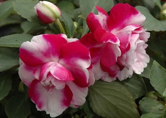 Бальзамин Фиеста: фото цветов