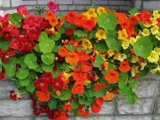 Цветок настурция: разведение и применение в кулинарии