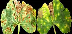 Почему сохнут и желтеют листья у пеларгонии?