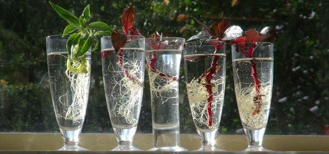 Размножение бальзамина черенками: фото