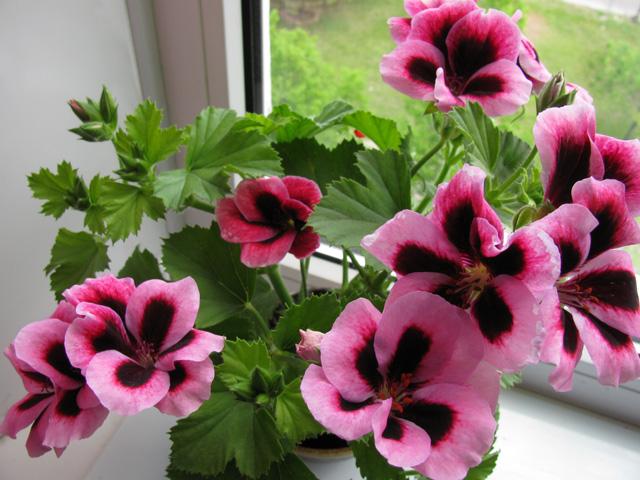 Пеларгония королевская: уход в домашних условиях и фото