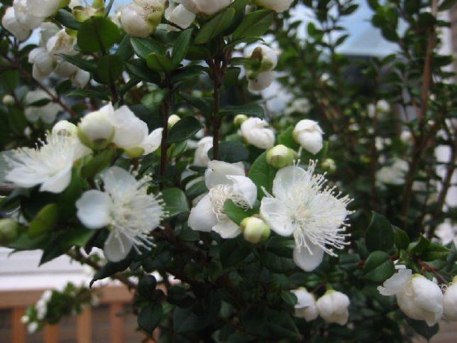 Цветки мирта: фото