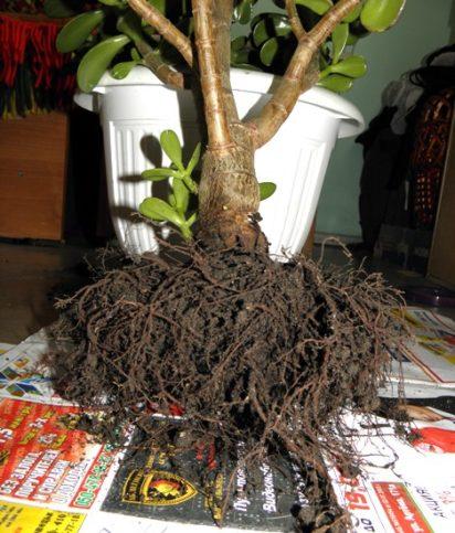 Пересадка денежного дерева (толстянки)