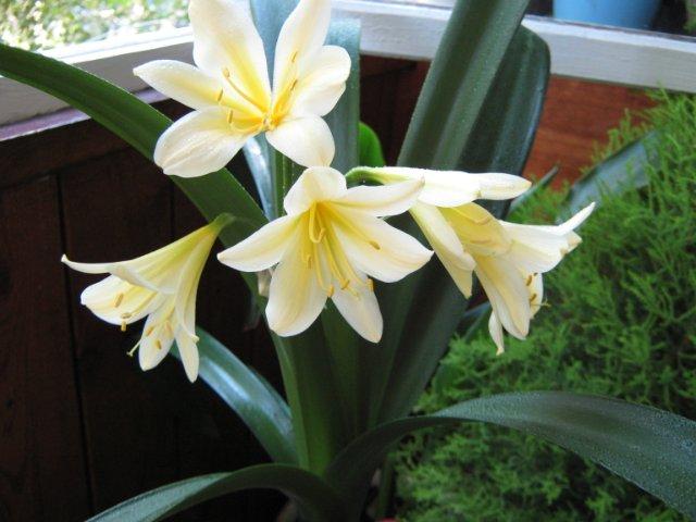 Кливия Цитрина: фото цветов