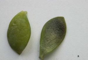 Что делать, если у денежного дерева мягкие листья