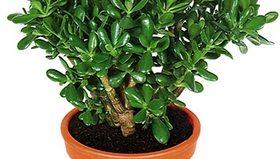Комнатное растение Денежное дерево: цветение и уход в домашних условиях