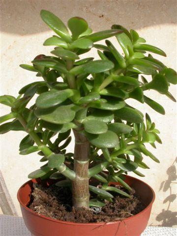 Крассула древовидная (денежное дерево): фото
