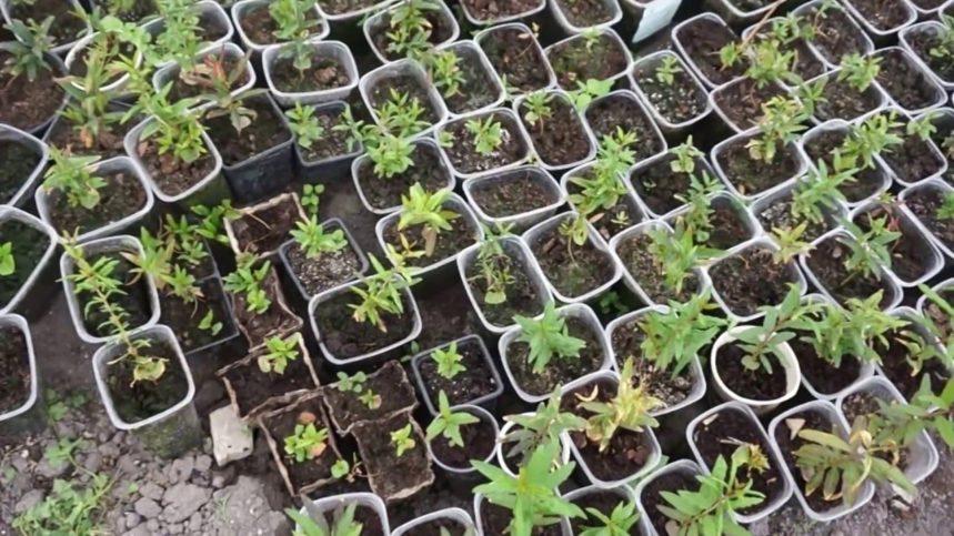 Выращивание граната из косточки в домашних условиях
