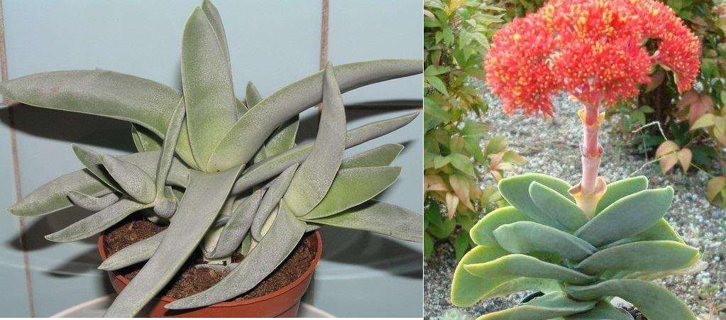 Толстянка серповидная: листья и цветки