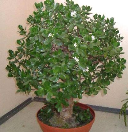 Сколько лет живет денежное дерево