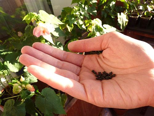 Выращивание абутилона из семян