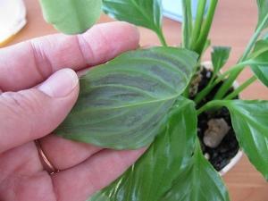 Как сохранить спатифиллум красивым и цветущим, и уберечь его от болезней?