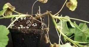 Как победить фитофтороз почвы у комнатных растений?
