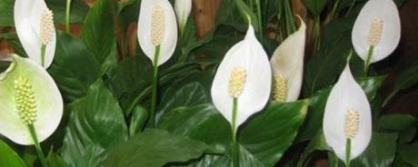 Почему спатифиллум не цветет, а выпускает только листья?