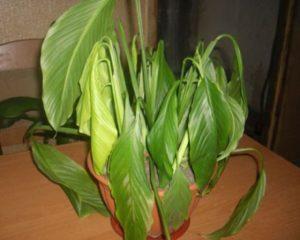 Что делать, если вянут и опускаются листья у спатифиллума