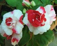 Цветок Бальзамин - сорта, выращивание и уход